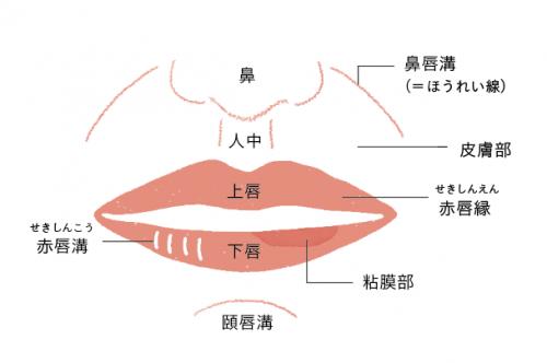 唇の構造と性状